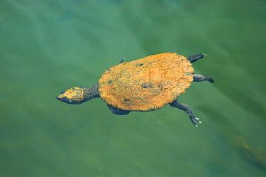 Serrated Snapping Turtle (Elseya latisternum) adult, diving in tropical lake, Lake Eacham, Atherton Tablelands, Queensland, Australia  -  Hugh Lansdown/ FLPA