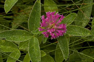 Zig-zag Clover (Trifolium medium) flowering, after rainfall, Dorset, England  -  Bob Gibbons/ FLPA