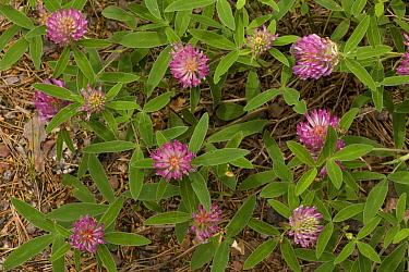 Zig-zag Clover (Trifolium medium) flowering, Dorset, England  -  Bob Gibbons/ FLPA