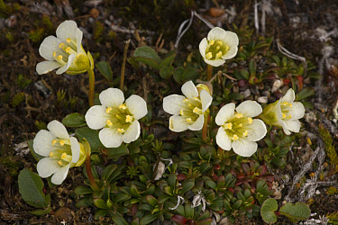 Pincushion Plant (Diapensia lapponica) flowers, recent discovery in Scotland  -  Bob Gibbons/ FLPA