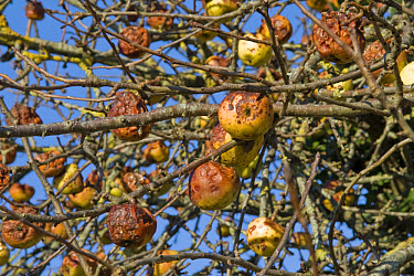 Cultivated Apple (Malus domestica) fruit, rotting on roadside tree, Dorset, England  -  Nicholas and Sherry Lu Aldridge/