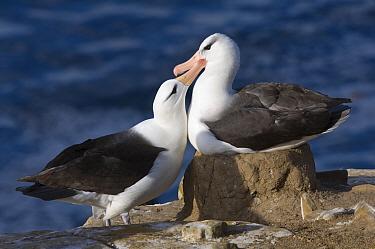 Black-browed Albatross (Thalassarche melanophris) adult pair, bonding behaviour at nest, Saunders Island, West Falklands  -  Krystyna Szulecka/ FLPA