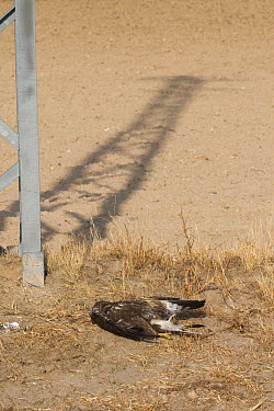 Common Buzzard (Buteo buteo) adult, dead after colliding with with overhead power cables, Spain  -  Roger Tidman/ FLPA