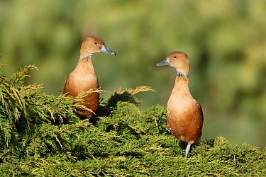 Fulvous Whistling-duck (Dendrocygna bicolor) adult pair, perched in tree, alert posture, captive  -  John Watkins/ FLPA