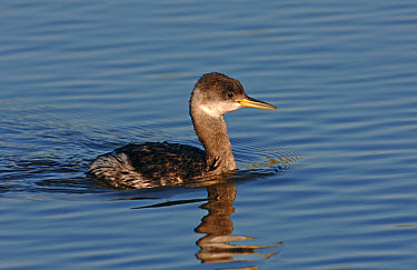 Red-necked Grebe (Podiceps grisengena) adult, winter plumage, Greater Manchester, England  -  Steve Young/ FLPA