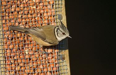 Crested Tit (Parus cristatus) adult, feeding at peanut feeder, Scotland  -  Roger Tidman/ FLPA