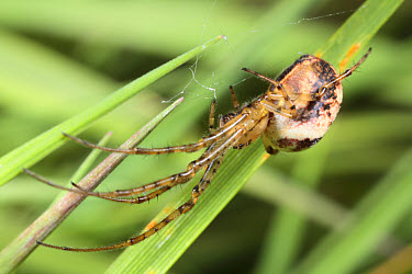 Long-legged Sac Spider (Cheiracanthium erraticum) adult female, on web in grass, Powys, Wales  -  Richard Becker/ FLPA