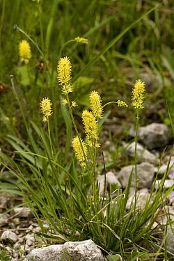 German Asphodel (Tofieldia calyculata) flowering, Dolomites, Northern Italy  -  Bob Gibbons/ FLPA
