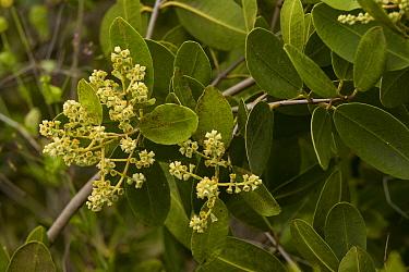White Mangrove (Laguncularia racemosa) flowering, Galapagos Islands, Ecuador  -  Bob Gibbons/ FLPA