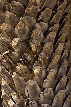 Theophrastus's Date Palm (Phoenix theophrasti) close-up of trunk, fibrous leaf sheaths, near coast, Vai, Eastern Crete, Greece  -  Bob Gibbons/ FLPA