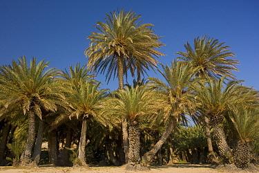 Theophrastus's Date Palm (Phoenix theophrasti) grove, growing near coast, Vai, Eastern Crete, Greece  -  Bob Gibbons/ FLPA