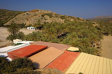Theophrastus's Date Palm (Phoenix theophrasti) grove, growing near coast with encroaching tourist buildings, Vai, Eastern Crete, Greece  -  Bob Gibbons/ FLPA