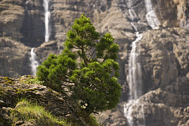 Spirke (Pinus uncinata) dwarf form, on mountain slope at high altitude, waterfall in background, Gavarnie, Pyrenees, France  -  Bob Gibbons/ FLPA