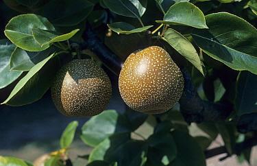 Pear (Pyrus pyrifolia) 'Nitaka', close-up of fruit on tree, Kent, England  -  Jean Hall/ FLPA