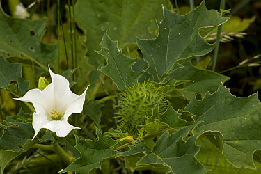 Thorn Apple (Datura stramonium) close-up of flower and fruit  -  Bob Gibbons/ FLPA