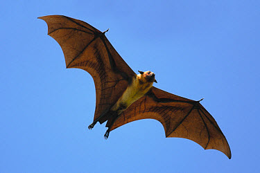 Indian Flying Fox (Pteropus giganteus) adult, in flight, Tissamaharama, near Yala West National Park, Sri Lanka  -  Hugh Lansdown/ FLPA