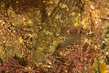 Rock Goby (Gobius paganellus) adult, in coastal rockpool, Dorset, England  -  Bob Gibbons/ FLPA