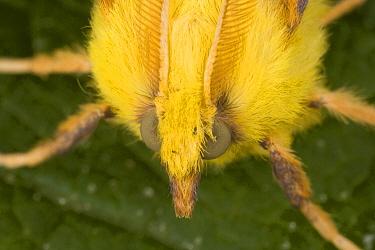 Canary-shouldered Thorn (Ennomos alniaria) adult, head, Dorset, England  -  Bob Gibbons/ FLPA