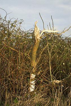 Roadside tree in hedgerow, cut through by machanised hedge cutter, Norfolk, England, january  -  Gary K Smith/ FLPA