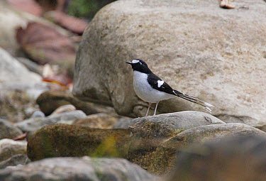 Black-backed Forktail (Enicurus immaculatus) adult, perched on rock, Chitwan National Park, Nepal  -  Neil Bowman/ FLPA