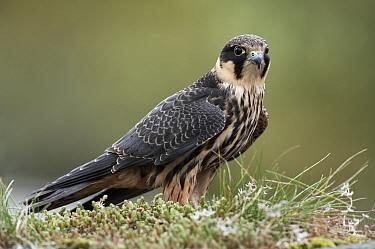 Eurasian Hobby (Falco subbuteo) adult, perched on grass topped drystone wall, Wales, United Kingdom  -  Mark Sisson/ FLPA