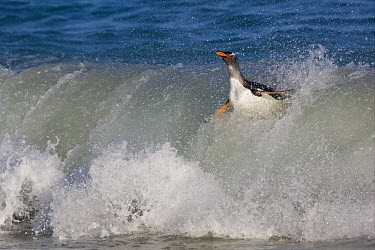 Gentoo Penguin (Pygoscelis papua) adult, in breaking wave, South End Beach, New Island, Falkland Islands  -  Dickie Duckett/ FLPA