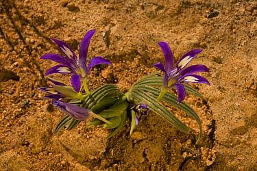 Baboon-root (Babiana sp) flowering, Namaqua Desert, Namaqualand, Northern Cape, South Africa  -  Bob Gibbons/ FLPA