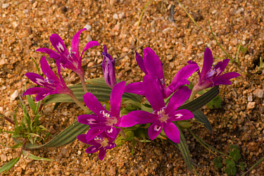 Baboon-root (Babiana sp) pink-cerise form, flowering, Namaqualand, Northern Cape, South Africa  -  Bob Gibbons/ FLPA