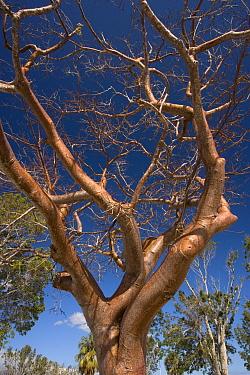 Gumbo Limbo (Bursera simaruba) bare branches, Florida  -  Bob Gibbons/ FLPA