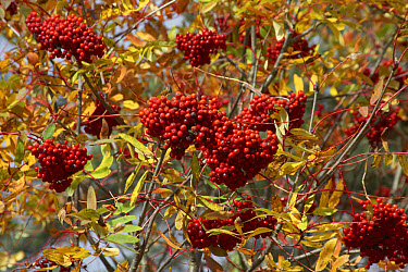 American Mountain Ash (Sorbus americana) berries and leaves, Nova Scotia, Canada  -  Tony Hamblin/ FLPA
