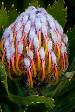 Pincushion (Leucospermum sp) close-up of flowerbud, in fynbos, Cape, South Africa  -  Bob Gibbons/ FLPA