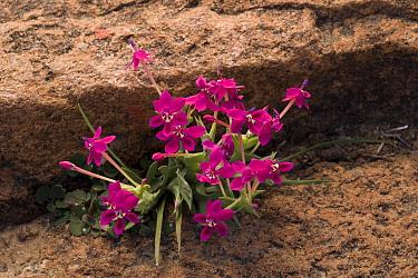 Painted Petal (Lapeirousia silenoides) flowering, Namaqua Desert, Namaqualand, South Africa  -  Bob Gibbons/ FLPA
