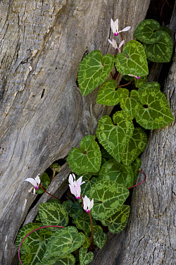 Florist's Cyclamen (Cyclamen persicum) flowering, growing in old tree, Cyprus  -  Bob Gibbons/ FLPA