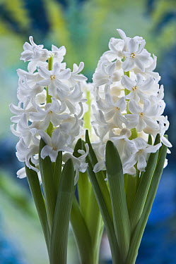 Hyacinth (Hyacinthus sp) flowering, forced flowers for early indoor display  -  Krystyna Szulecka/ FLPA