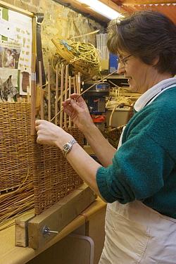 Woman weaving willow basket in workshop, Sussex, England  -  Angela Hampton/ FLPA