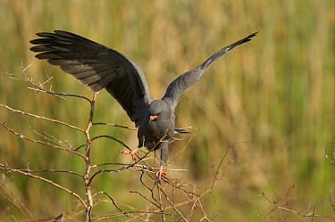 Snail Kite (Rostrahamus sociabilis) adult male, perched in tree, wings spread, Florida  -  Malcolm Schuyl/ FLPA