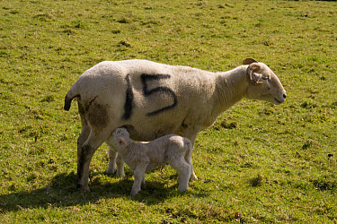 Wiltshire horn sheep, mother with new born lamb  -  David Hosking/ FLPA