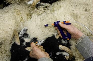 Sheep farming, close-up of shepherd injecting Swaledale sheep with vaccination, Cumbria, England  -  Wayne Hutchinson/ FLPA