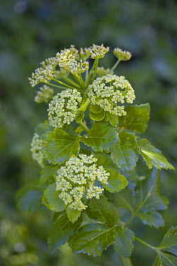 Horse parsley (Smyrnium olusatrum) flowering, growing on roadside, Lulworth, Dorset, England  -  Nicholas and Sherry Lu Aldridge/