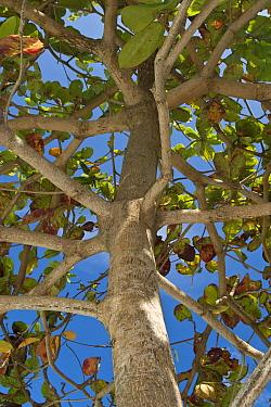 Indian Almond (Terminalia catappa) branching habit, Honda Bay, Palawan, Philippines  -  Nicholas and Sherry Lu Aldridge/