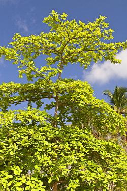 Indian Almond (Terminalia catappa) habit, on beach, Palawan, Philippines  -  Nicholas and Sherry Lu Aldridge/