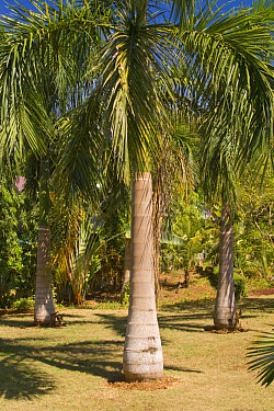 Royal Palm (Roystonea sp) habit, growing in garden, Palawan, Philippines  -  Nicholas and Sherry Lu Aldridge/