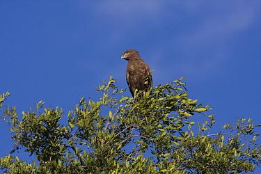 Brown snake Eagle, Africa  -  David Hosking/ FLPA