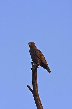 BRown Snake Eagle, Botswana  -  David Hosking/ FLPA
