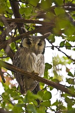 White faced scops Owl, AFrica  -  David Hosking/ FLPA