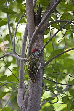 Golden tailed Woodpecker, female  -  David Hosking/ FLPA
