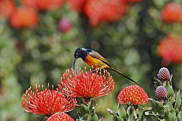 Orange-breasted Sunbird (Nectarinia violacea) adult male, feeding on protea flower nectar, Kirstenbosch, Cape Town, South Africa  -  S. Charlie Brown/ FLPA
