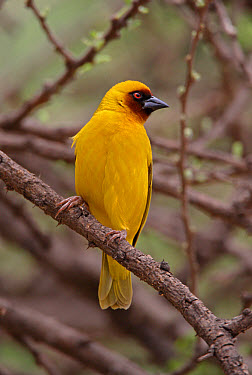 Rueppell's Weaver (Ploceus galbula) adult male, perched on branch, Ethiopia  -  Neil Bowman/ FLPA