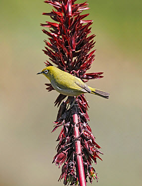 Pale White-eye (Zosterops pallidus) adult, foraging for insects on flowerspike, Kirstenbosch, Cape Town, South Africa  -  S. Charlie Brown/ FLPA