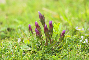 Dwarf Gentian (Gentianella sp) flowerbuds, growing on chalk grassland, Dorset, England  -  Gary K Smith/ FLPA